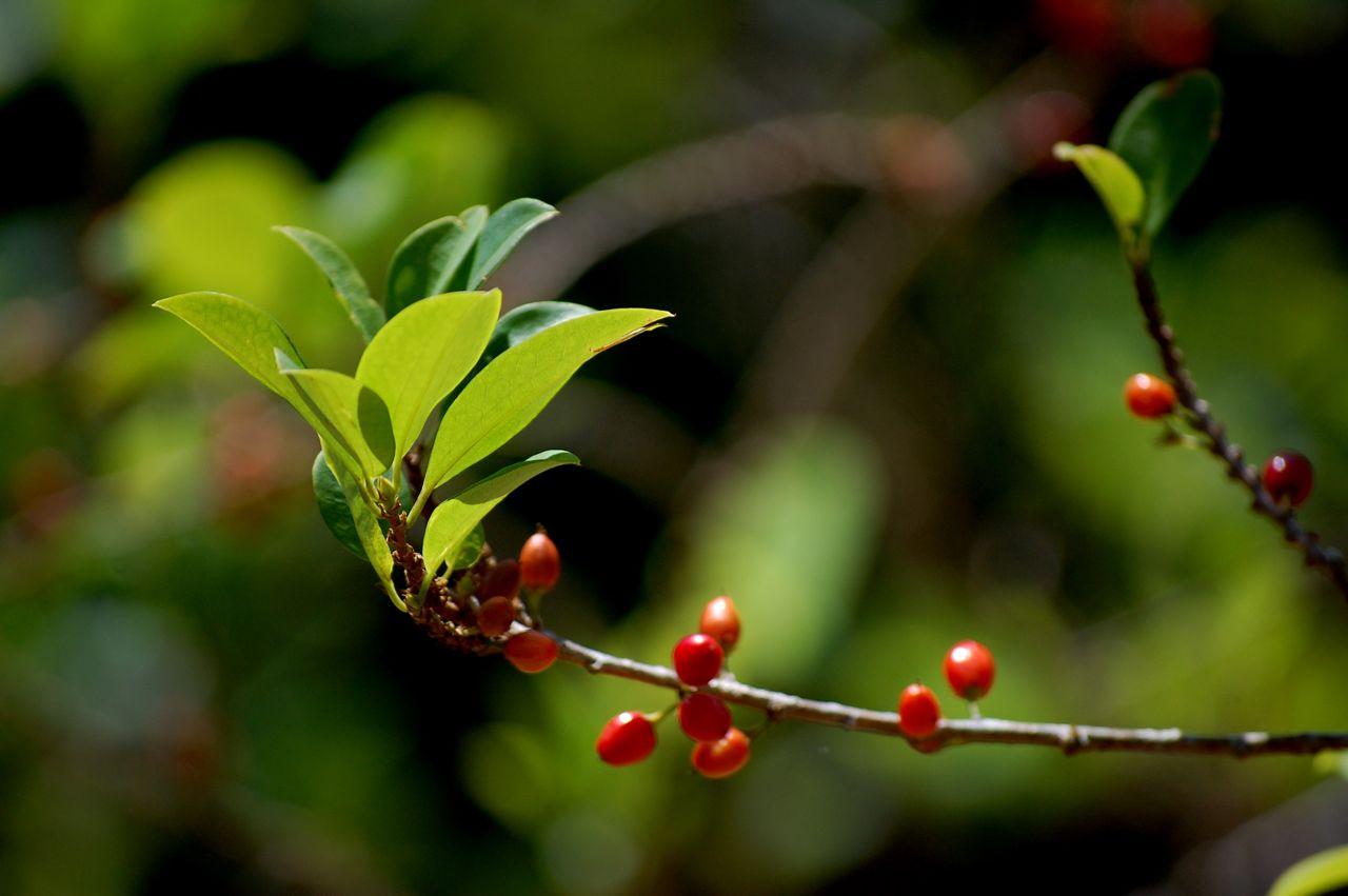 coca_plant.jpg