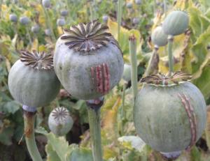 Poppy seed plants in a field