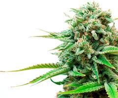 Marijuana plant leaf